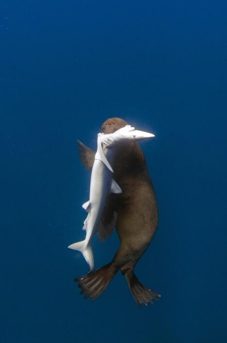 Quand un phoque dévore cinq requins | ediving | Scoop.it