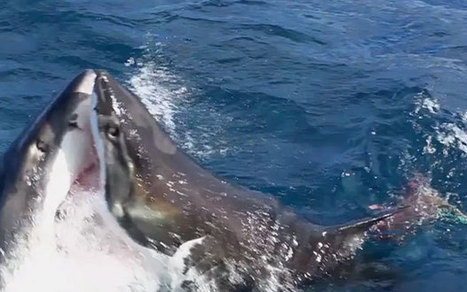 Terrifying cannibal shark on shark attack caught on camera - Telegraph | Xposed | Scoop.it
