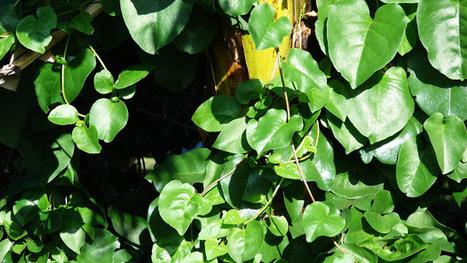 anredera cordifolia diabetes cure
