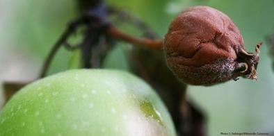 Fire-blight resistant apples (ZTH : University of Zurich) | plant cell genetics | Scoop.it