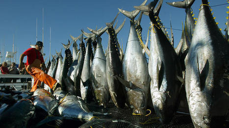 Mercury levels rising in Pacific yellowfin tuna, study says | Sustain Our Earth | Scoop.it