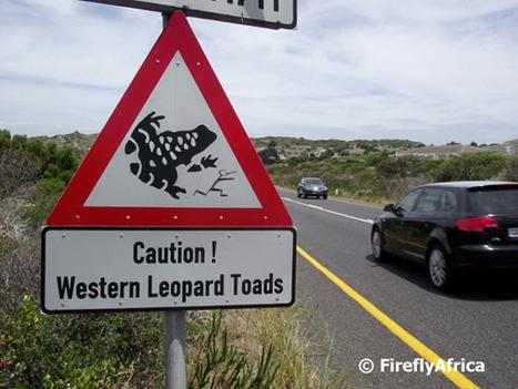 Meet Cape Town's volunteer 'toad shepherds' | 100 Acre Wood | Scoop.it