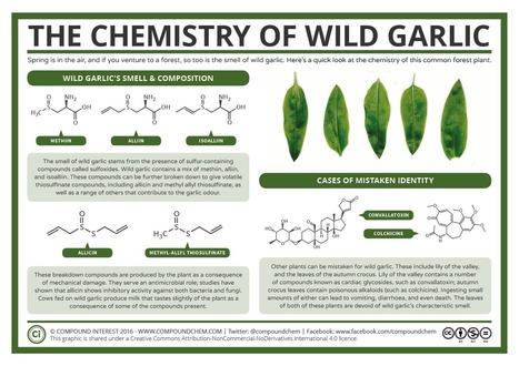The Chemistry of Wild Garlic | Allicin, the heart of garlic | Scoop.it