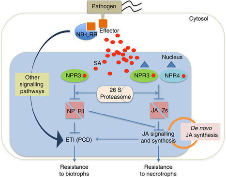 Salicylic acid receptors activate jasmonic acid signalling through a non-canonical pathway to promote effector-triggered immunity | Plant-Microbe Interaction | Scoop.it