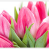 Paradise Tulips:  Heavenly Garden