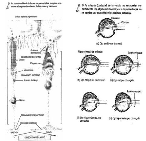 Retina | Anatomia ocular y del sistema visual |...
