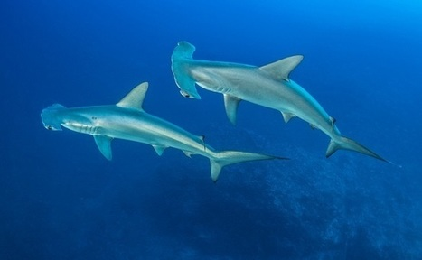 If Air China Bans Shark Fin, Why Can't FedEx? | Care2 Causes | Oceans and Wildlife | Scoop.it