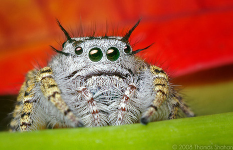» Spiders' Hundreds of Fine Hairs Are Hundreds of Ears   News, topics and more   Scoop.it