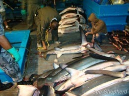 Sea Shepherd :: Shark Poachers Caught Inside the Galapagos Marine Reserve | Nature Animals humankind | Scoop.it