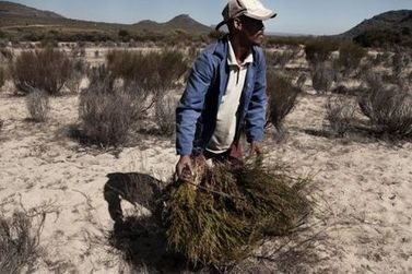 Climate change threatens S.Africa's rooibos tea, news, StarAfrica.com | Food issues | Scoop.it