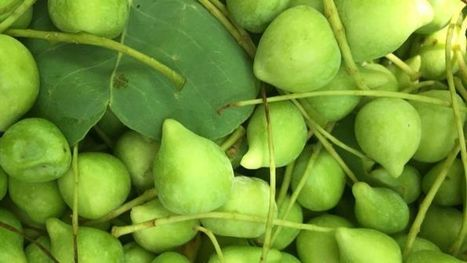 Indigenous harvest of gubinge proving fruitful | Australian Plants on the Web | Scoop.it