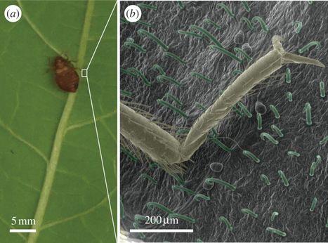 Les feuilles de haricots pour lutter contre les punaises de lit | EntomoNews | Scoop.it