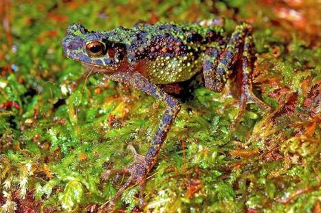 'Lost' Rainbow Toad Rediscovered After 87 Years | AJC's Frogroom | Scoop.it