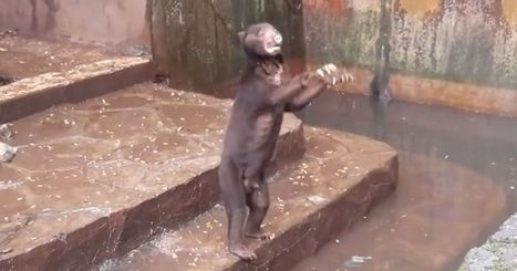 Videos of starving sun bears in a zoo begging for food spark outrage | The Key is Veganism | Scoop.it