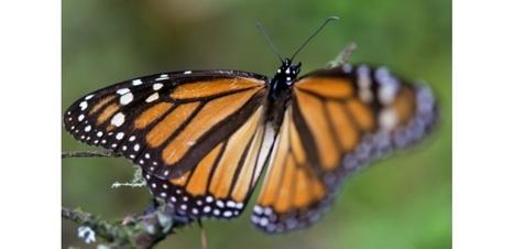 La population de papillons monarques hibernant au Mexique devrait quadrupler | Mes passions natures | Scoop.it
