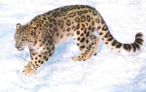 Snow Leopards Facts | Top 14 Amazing facts | Conservation of wildlife | Scoop.it