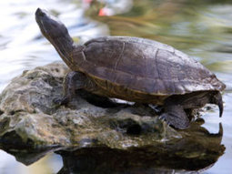Tiny turtle rescued in time for World Turtle Day | All about water, the oceans, environmental issues | Scoop.it
