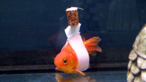 Goldfish who can't swim upright gets a wheelchair   Koi keeper   Scoop.it
