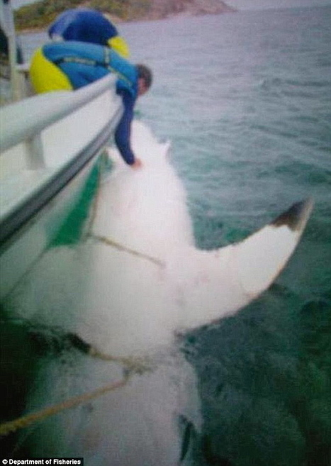 Enormous great white shark grabs spotlight in Western Australia | GrindTV.com | Xposed | Scoop.it