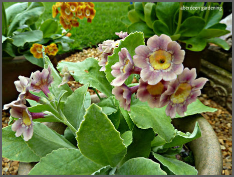 Border Auriculas | Auriculas and  other Gardening topics | Scoop.it