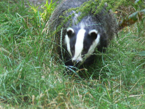 Culling Badgers will not stop bovine TB | Derbyshire Green Party | Environmental Education & Wildlife Conservation | Scoop.it