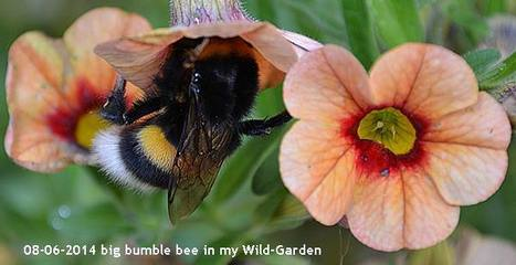 The Plight of the Pollinators | Bumblebees | profile | Scoop.it