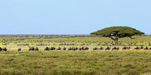 Gnu-Wildebeest-Migration - Serengeti-Wildlife Images by Uwe Skrzypczak | My Funny Africa.. Bushwhacker anecdotes | Scoop.it