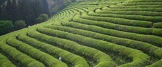 Green Tea: Protection against cerebrovasculardisease | Herbs & Spices InnOrbit | Scoop.it