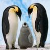 Penguins, Penguins Everywhere!