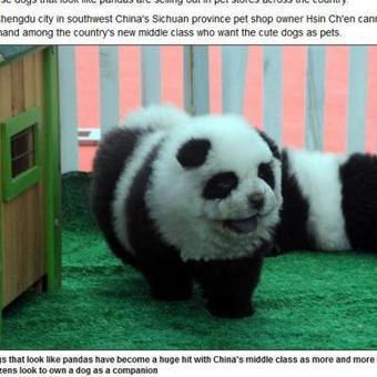 Le chien-panda, la nouvelle mode qui fait fureur en Chine   CaniCatNews-actualité   Scoop.it