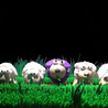 Sheep Animation