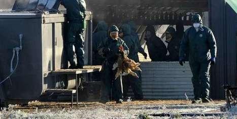 Crise aviaire: la vaccination des canards est impossible | Agriculture en Dordogne | Scoop.it