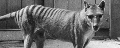 Researchers Have Reconstructed the Brain of the Extinct Tasmanian Tiger | IELTS, ESP, EAP and CALL | Scoop.it