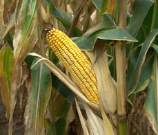 Cereals 2012: GM corn - not a 'panacea' - 6/14/2012 - Farmers Weekly | GMO Agriculture | Scoop.it