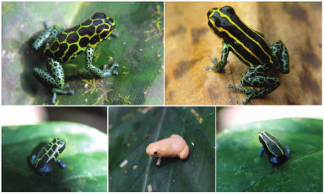 One Species, Ten Patterns? Why Poison Dart Frogs Dress Differently | AJC's Frogroom | Scoop.it