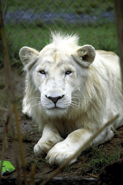 Michael the white lion now calls Tiger World home - Salisbury Post | Earth Rangers' Science Content | Scoop.it