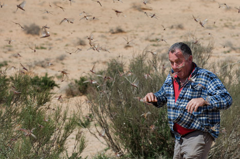 Swarms of Locusts Cross Into Israel From Egypt   Broad Canvas   Scoop.it