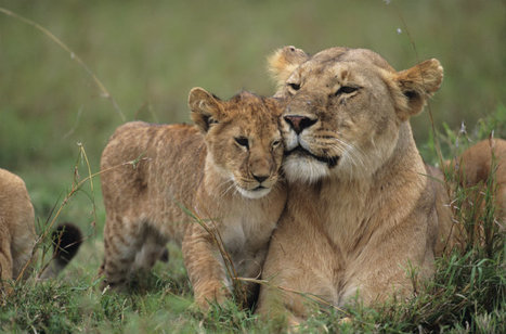 Under Attack: Lions Are Becoming an Endangered Species | Earth Citizens Perspective | Scoop.it