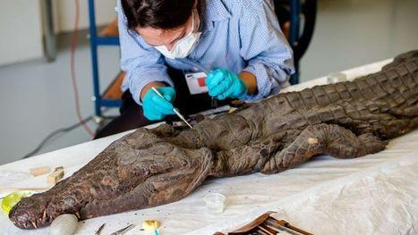 Le Louvre-Lens met du baume sur sa momie de crocodile | Bibliothèque des sciences de l'Antiquité | Scoop.it