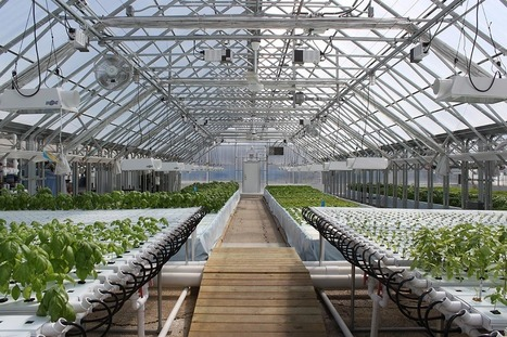 USA - Raised in Chicago: West Side urban farm reaps aquaponics harvest | Aquaponics in Action | Scoop.it