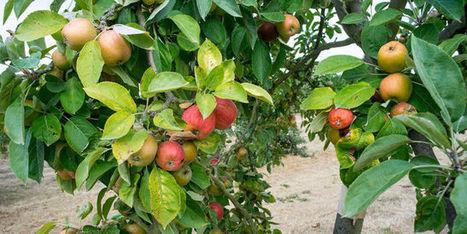 « Dernière chance pour la biodiversité»: les pommes d'antan | HORTICULTURE BOTANIQUE | Scoop.it