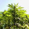 Cannabis & Drug Policy Reform