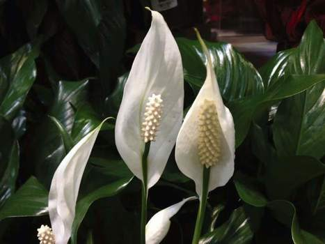 Walliser: Here are 5 houseplants that thrive in low light | Gardening | Scoop.it