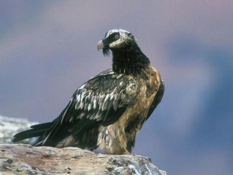 Le gypaète barbu, plus grand rapace européen, bientôt réintroduit dans les Alpes bavaroises | Histoires Naturelles | Scoop.it