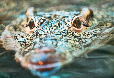 Futurity.org – 'Invisible whiskers' make crocs super sensitive | All about water, the oceans, environmental issues | Scoop.it