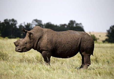 A biotech startup is 3D-printing fake rhino horns to try to stop poaching | Farming, Forests, Water, Fishing and Environment | Scoop.it