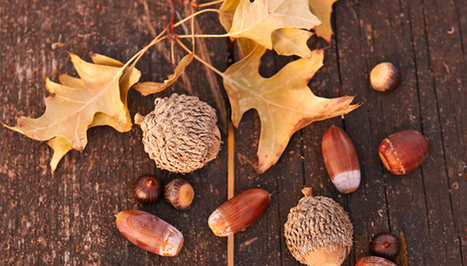 How To Prepare And Eat Acorns | BOB to BOL by BOV | Scoop.it