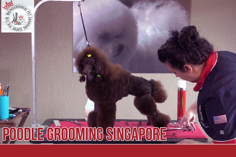 Recommended Poodle Grooming In Singapore Pet