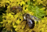 What's the difference between honey bees and bumblebees? | Bees and Honey | Scoop.it
