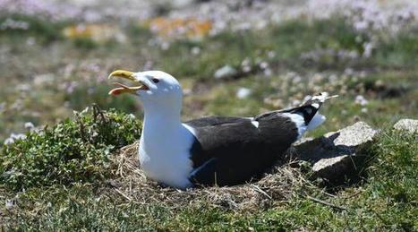 Finistère: Deux îles des Glénan interdites au public pour protéger les oiseaux | Histoires Naturelles | Scoop.it